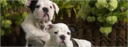 Father & Son Olde English Bulldogge Facebook Covers Facebook Covers