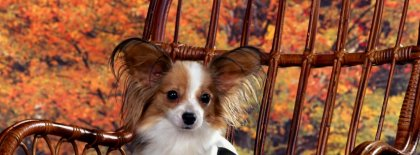 Sitting Pretty Chihuahua Timeline Covers Facebook Covers